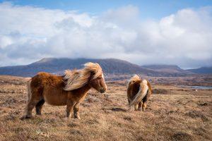 Sheland Ponies